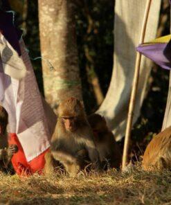 Fünf Affen sitzen zwischen bunten Gebetsfahnen